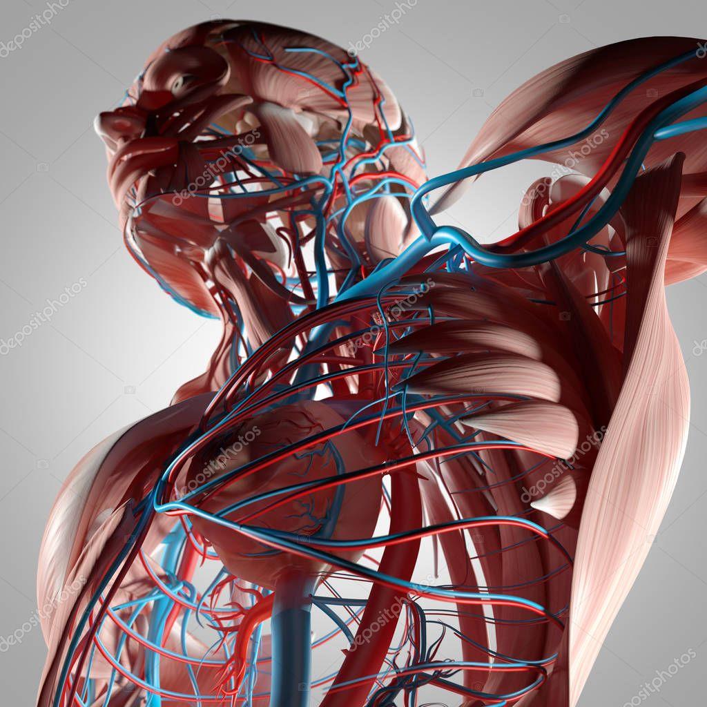 Anatomía de torso humano — Fotos de Stock © AnatomyInsider #128992074