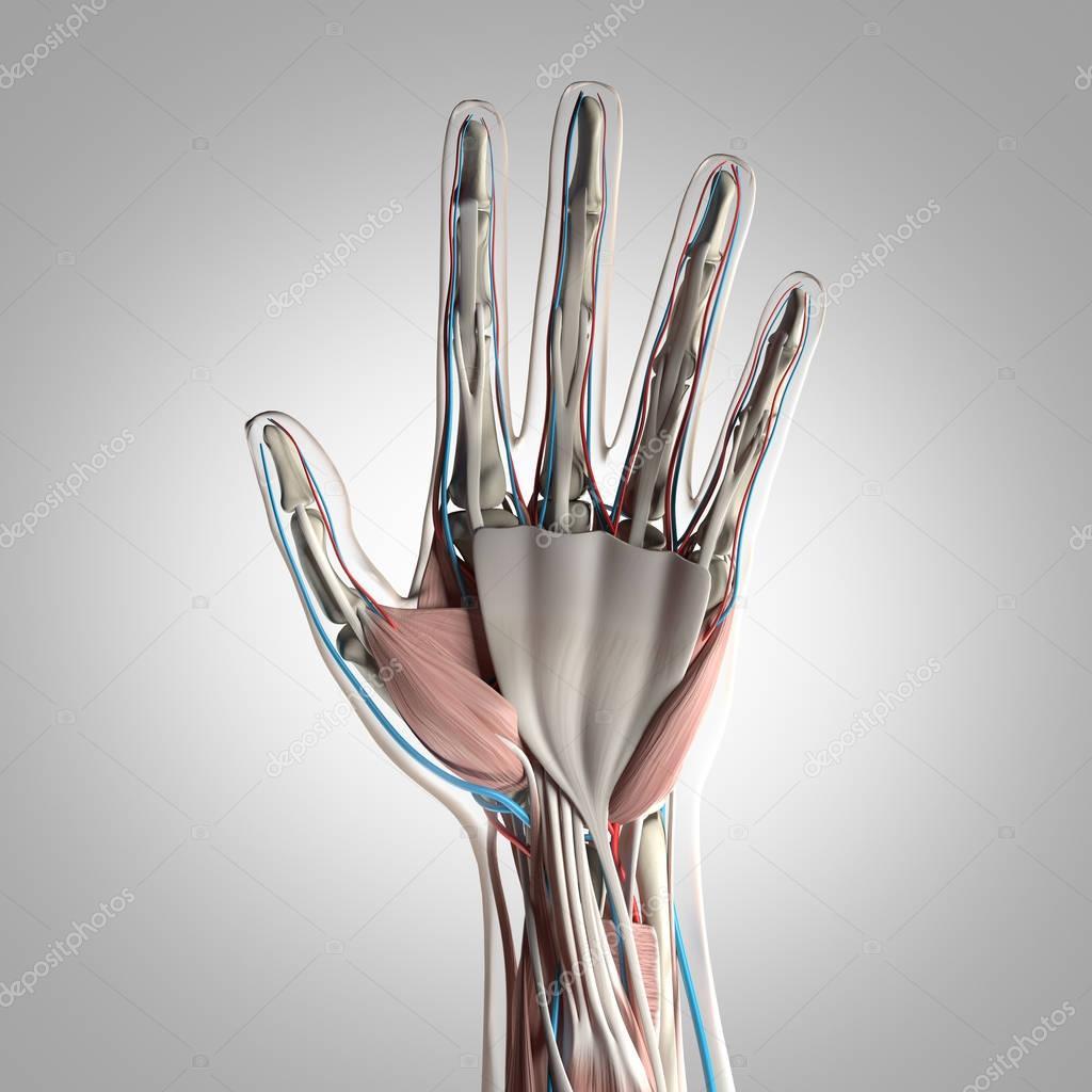 Human Hand Anatomy Model Stock Photo Anatomyinsider 128992396