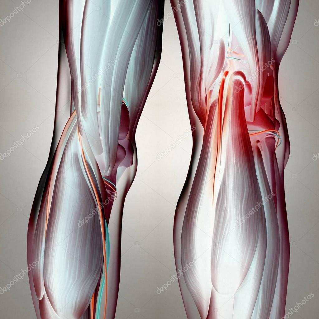 Human Back Of Legs Anatomy Stock Photo Anatomyinsider 128992408