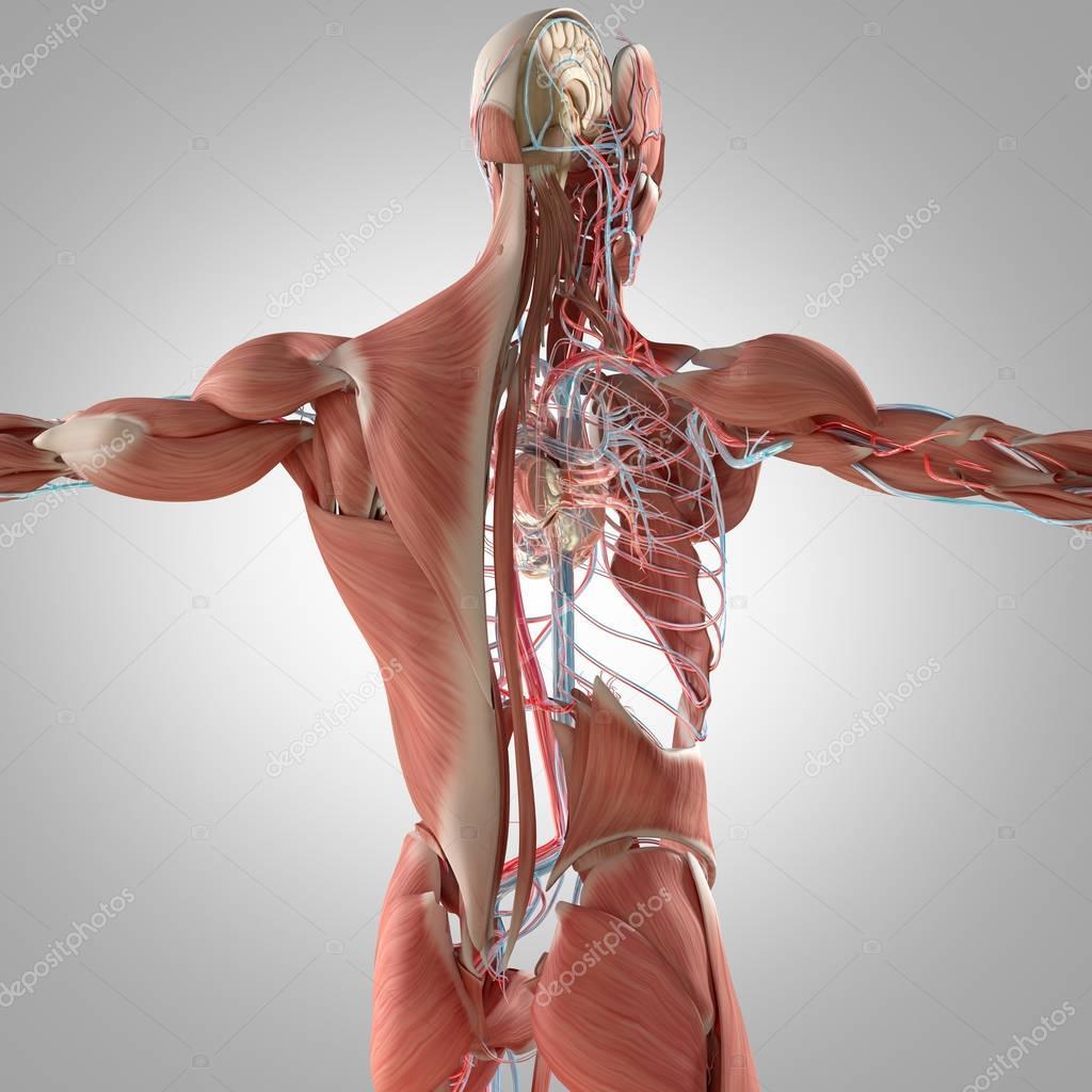Modelo de anatomía del sistema muscular y vascular — Foto de stock ...
