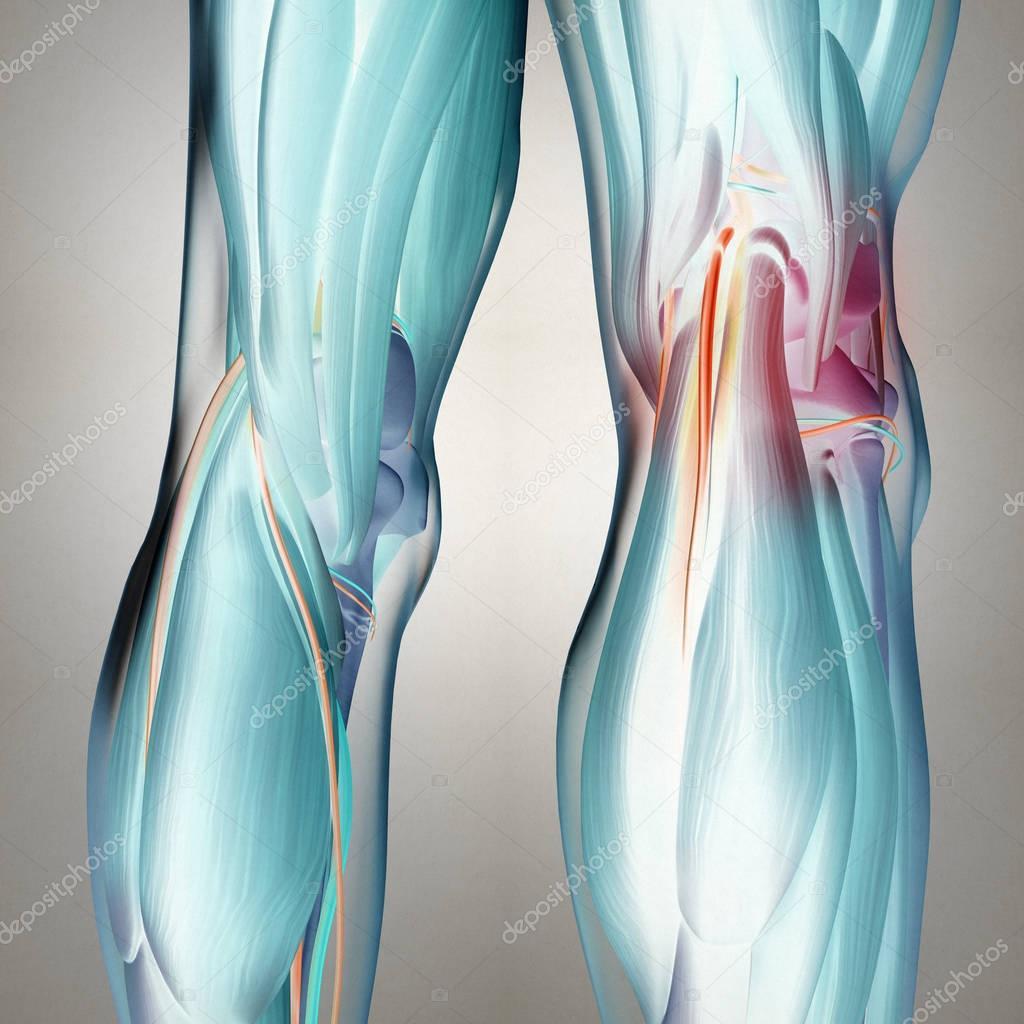 Human Back of legs anatomy — Stock Photo © AnatomyInsider #128993240