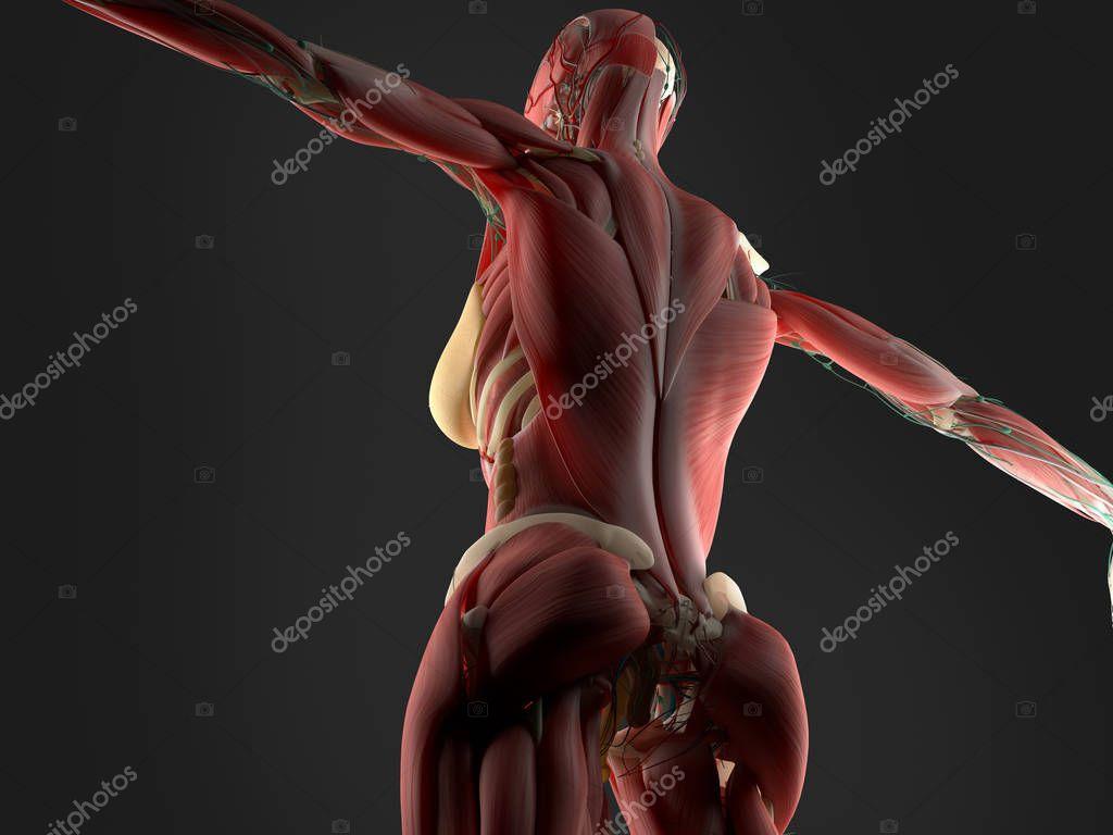 Anatomie des weiblichen Körpers — Stockfoto © AnatomyInsider #128993690
