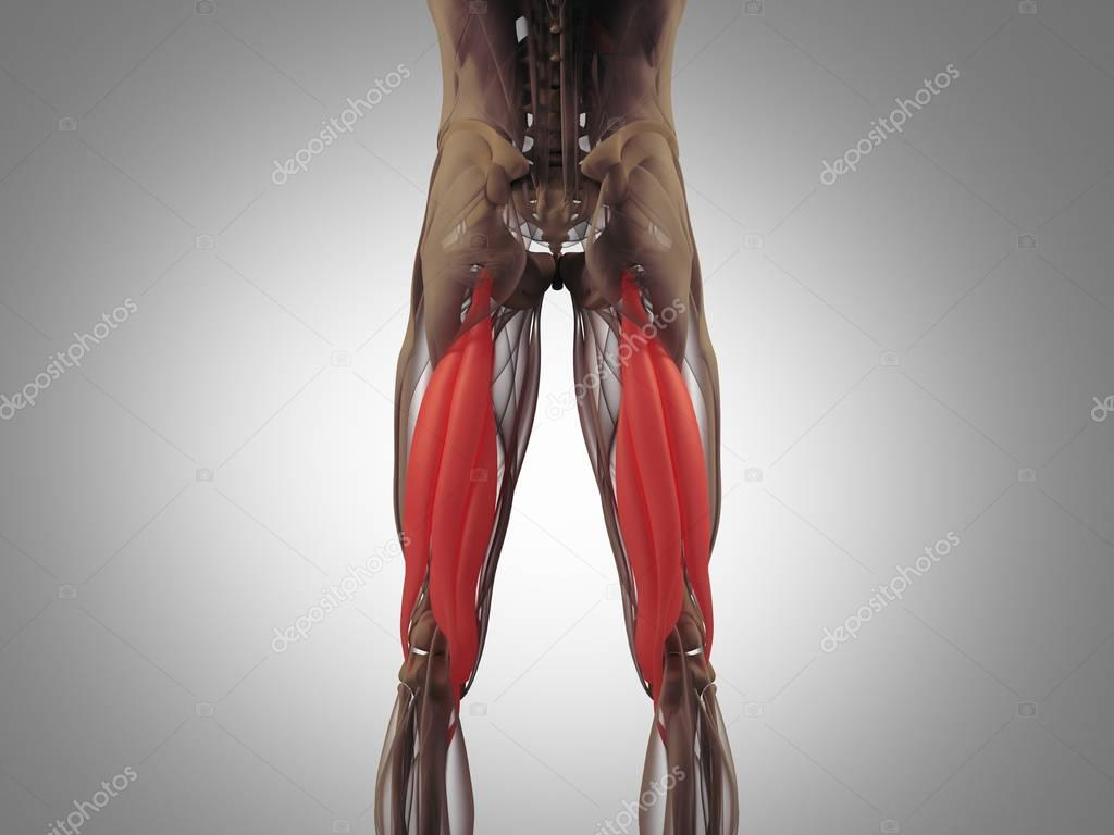 Hamstring Muscle Group Anatomy Model Stock Photo Anatomyinsider