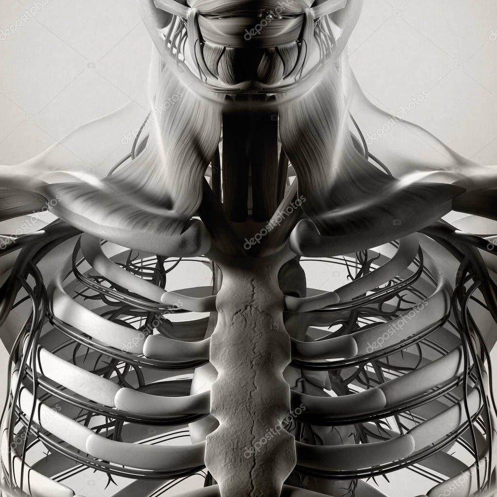 Modèle anatomie humaine cage thoracique — Photographie ...