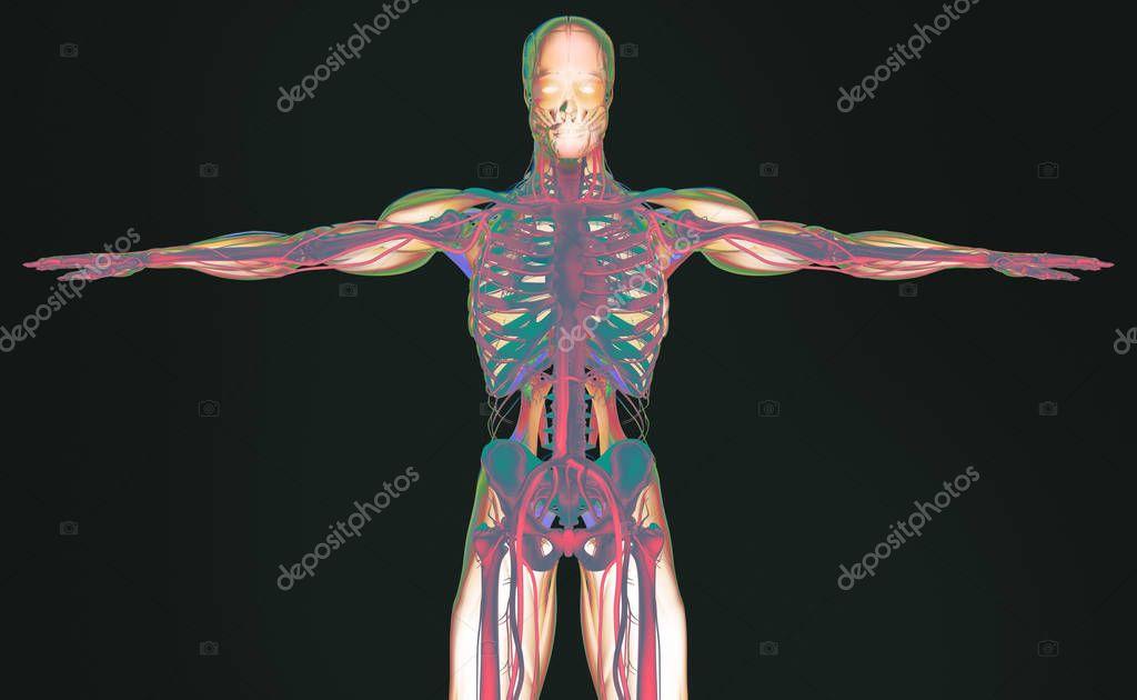 modelo de anatomía humana — Fotos de Stock © AnatomyInsider #128994130