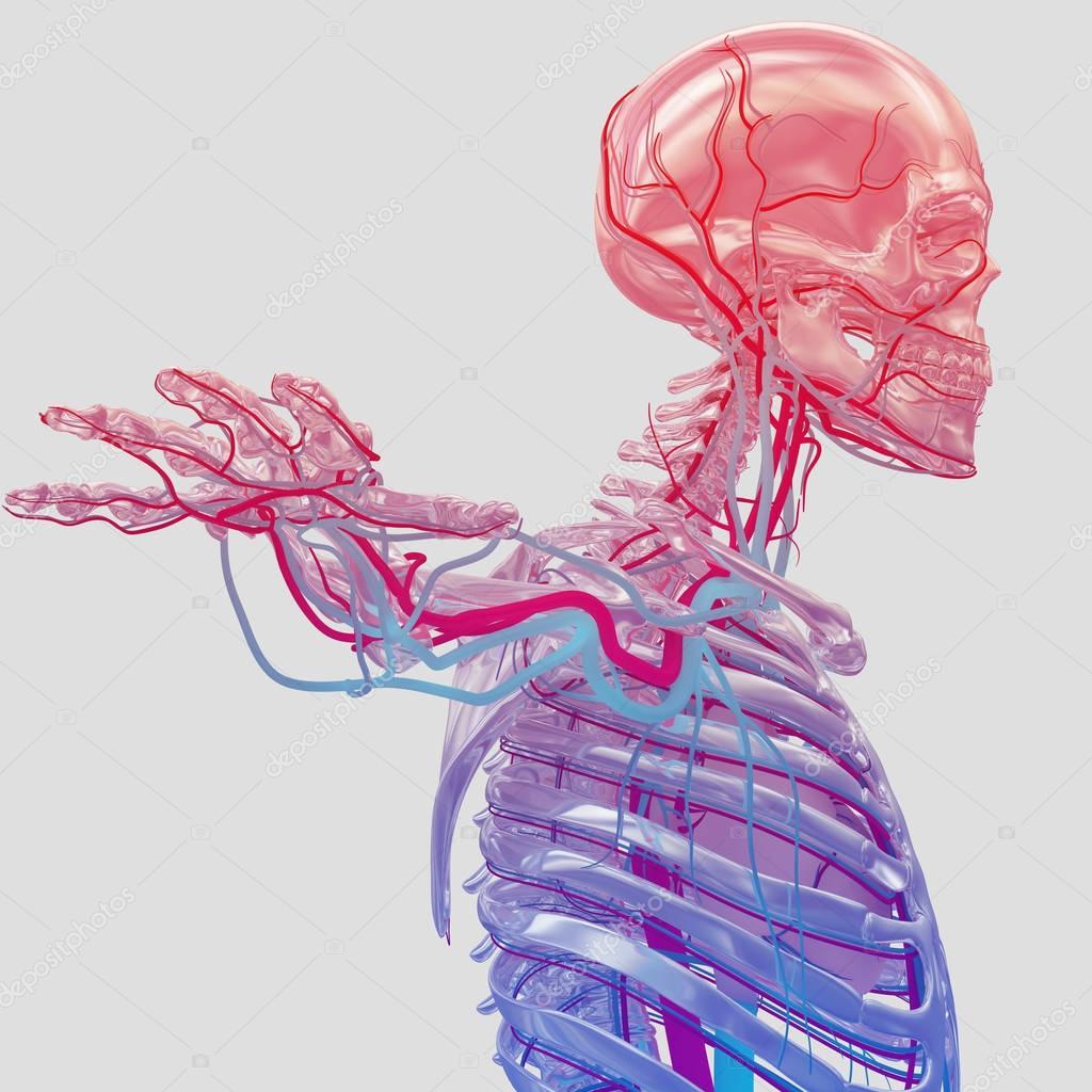 Esqueleto humano con sistema vascular — Foto de stock ...