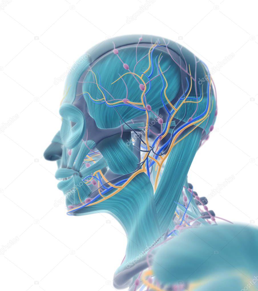 Male Head Anatomy Model Stock Photo Anatomyinsider 128994206