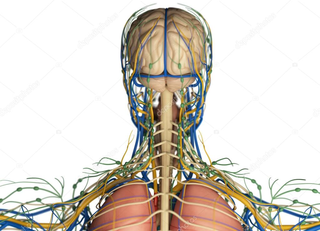 Human head anatomy back view — Stock Photo © AnatomyInsider #128994210