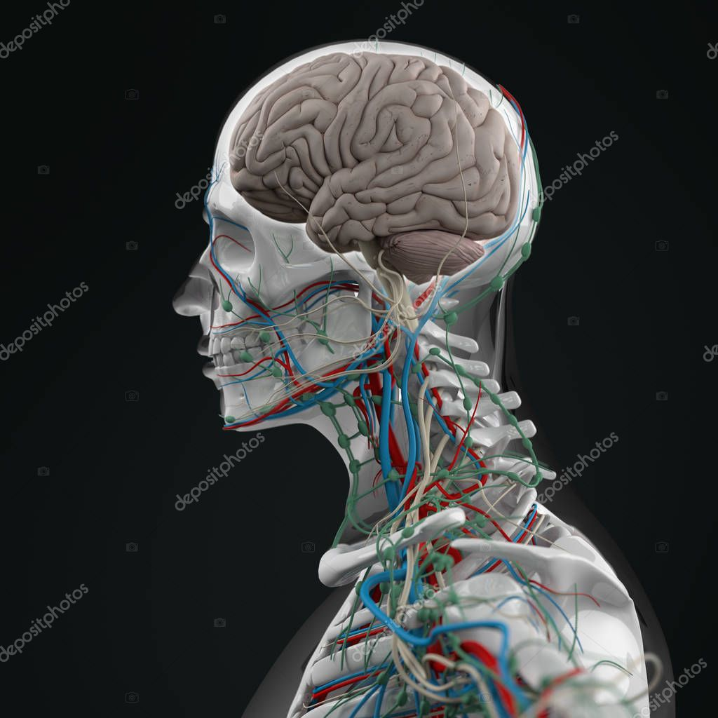 Human Torso Anatomy Stock Photo Anatomyinsider 128994348