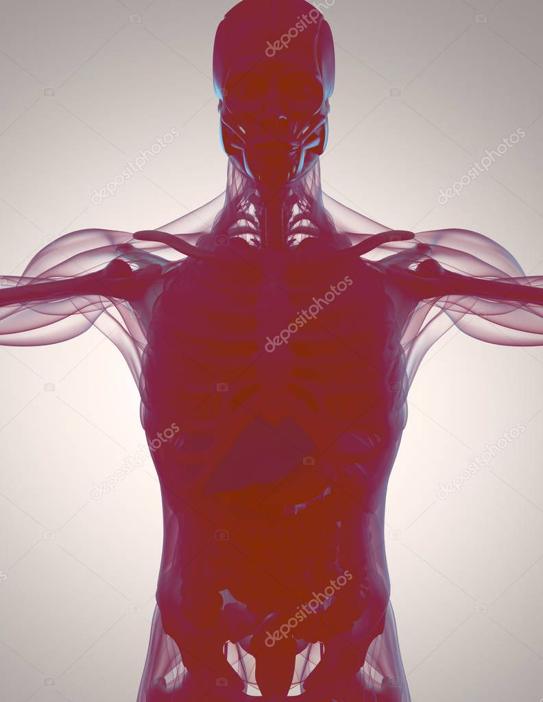 Human Anatomy Model Stock Photo Anatomyinsider 128994636