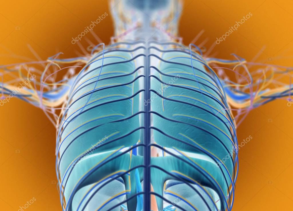 Modelo de anatomía humana de espalda — Foto de stock ...