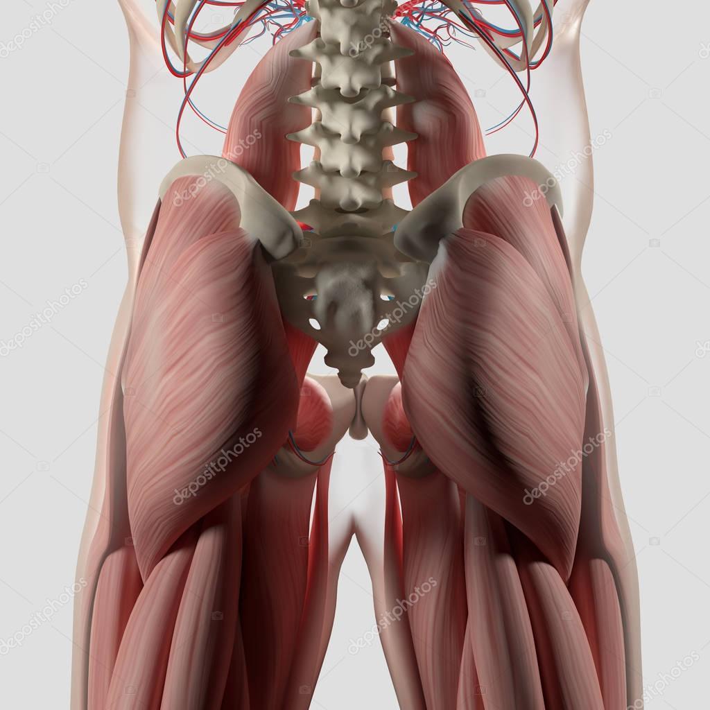 Human spine and pelvis anatomy model — Stock Photo © AnatomyInsider ...