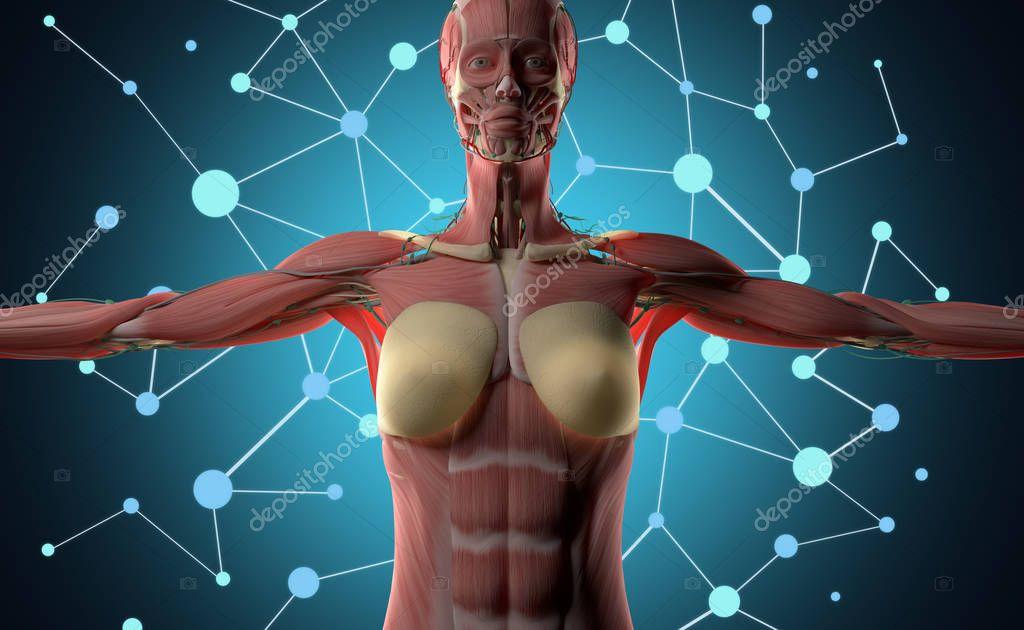 Anatomie des weiblichen Körpers — Stockfoto © AnatomyInsider #128995348