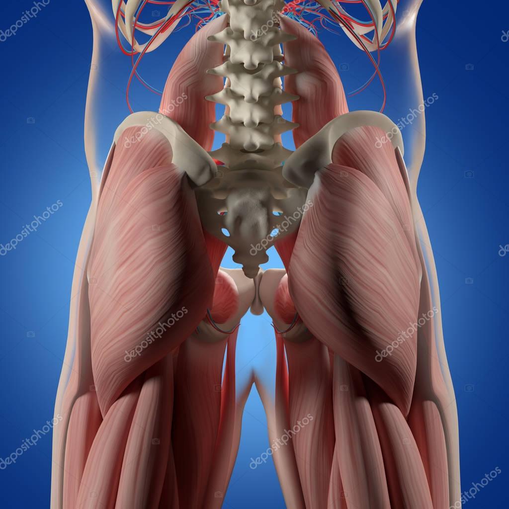 Menschliche Wirbelsäule und Becken-Anatomie-Modell — Stockfoto ...