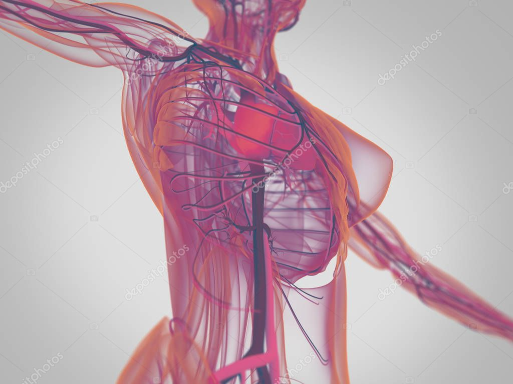Anatomie des weiblichen Körpers — Stockfoto © AnatomyInsider #128995810