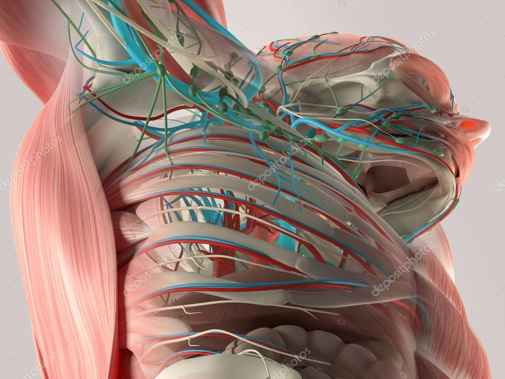 Human torso anatomy model — Stock Photo © AnatomyInsider #128996426