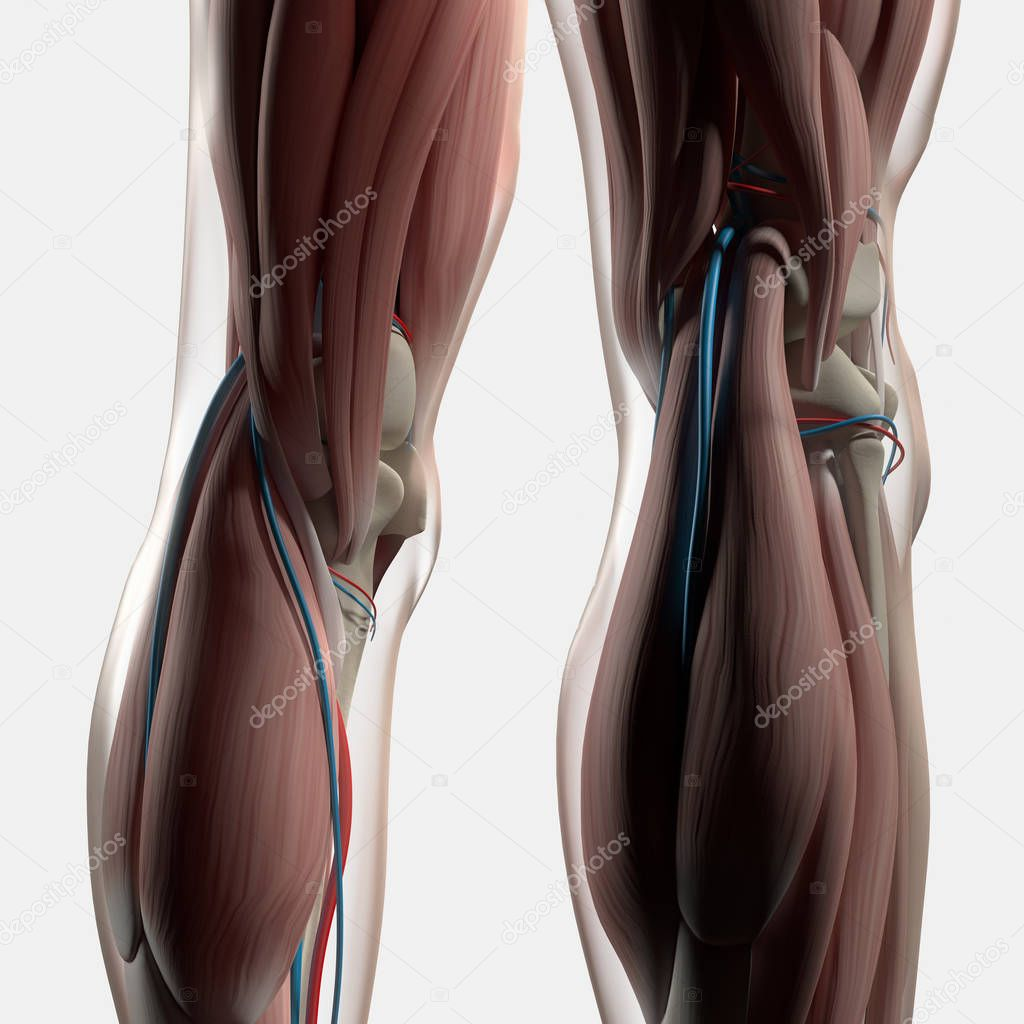 Human Back of legs anatomy — Stock Photo © AnatomyInsider #128996554