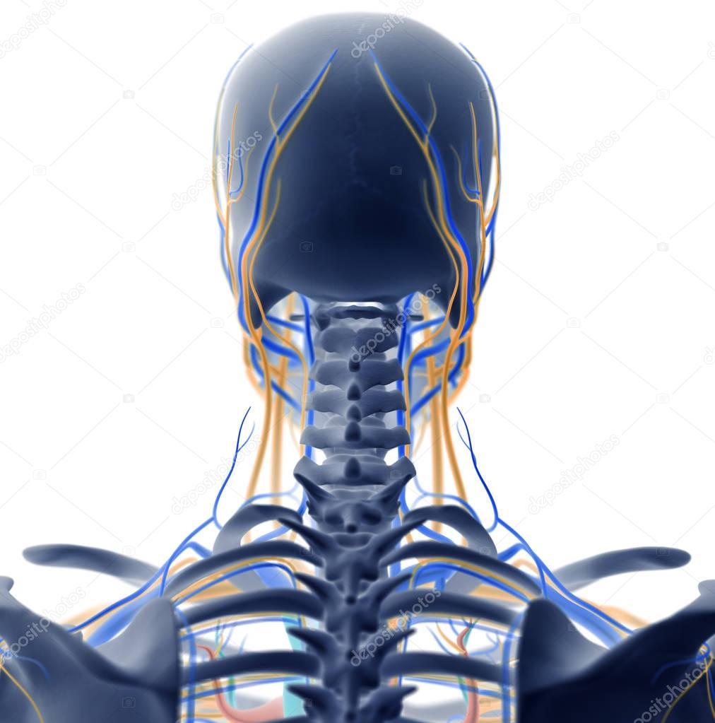 Hals-Anatomie-Modell — Stockfoto © AnatomyInsider #128996580
