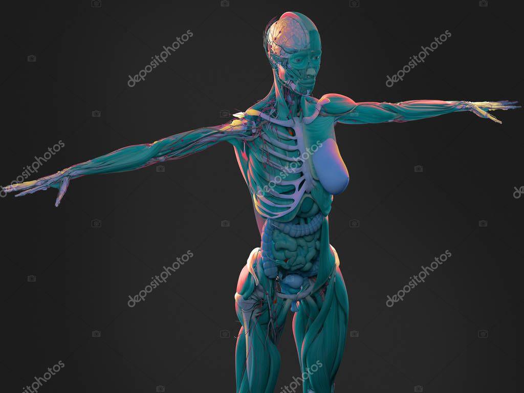 Anatomie des weiblichen Körpers — Stockfoto © AnatomyInsider #128996682