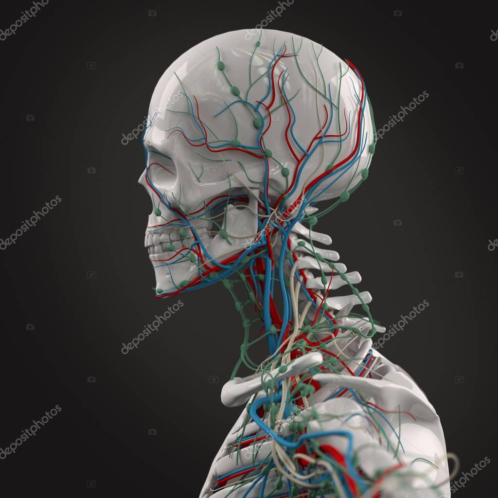Human head anatomy model — Stock Photo © AnatomyInsider #128996750