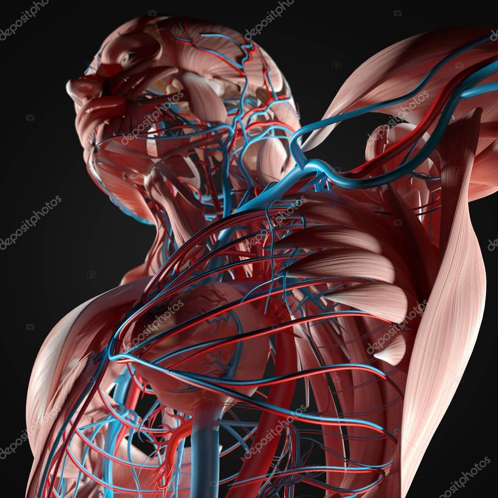 Anatomía de torso humano — Fotos de Stock © AnatomyInsider #128997204