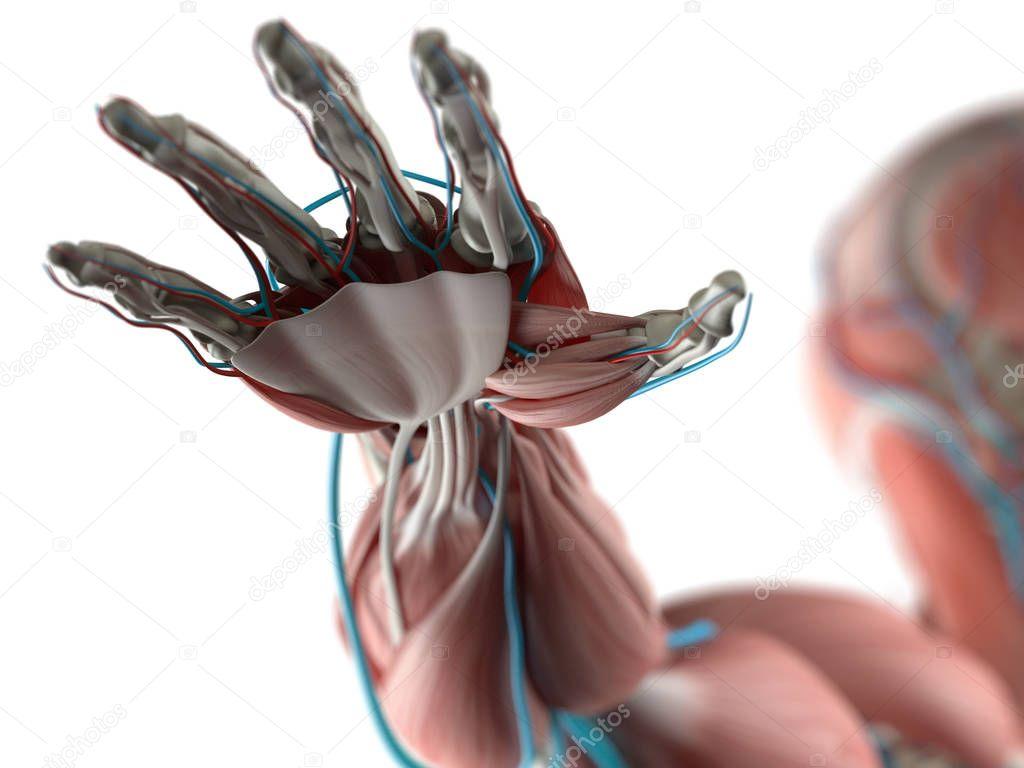 Human Hand Anatomy Model Stock Photo Anatomyinsider 128997362
