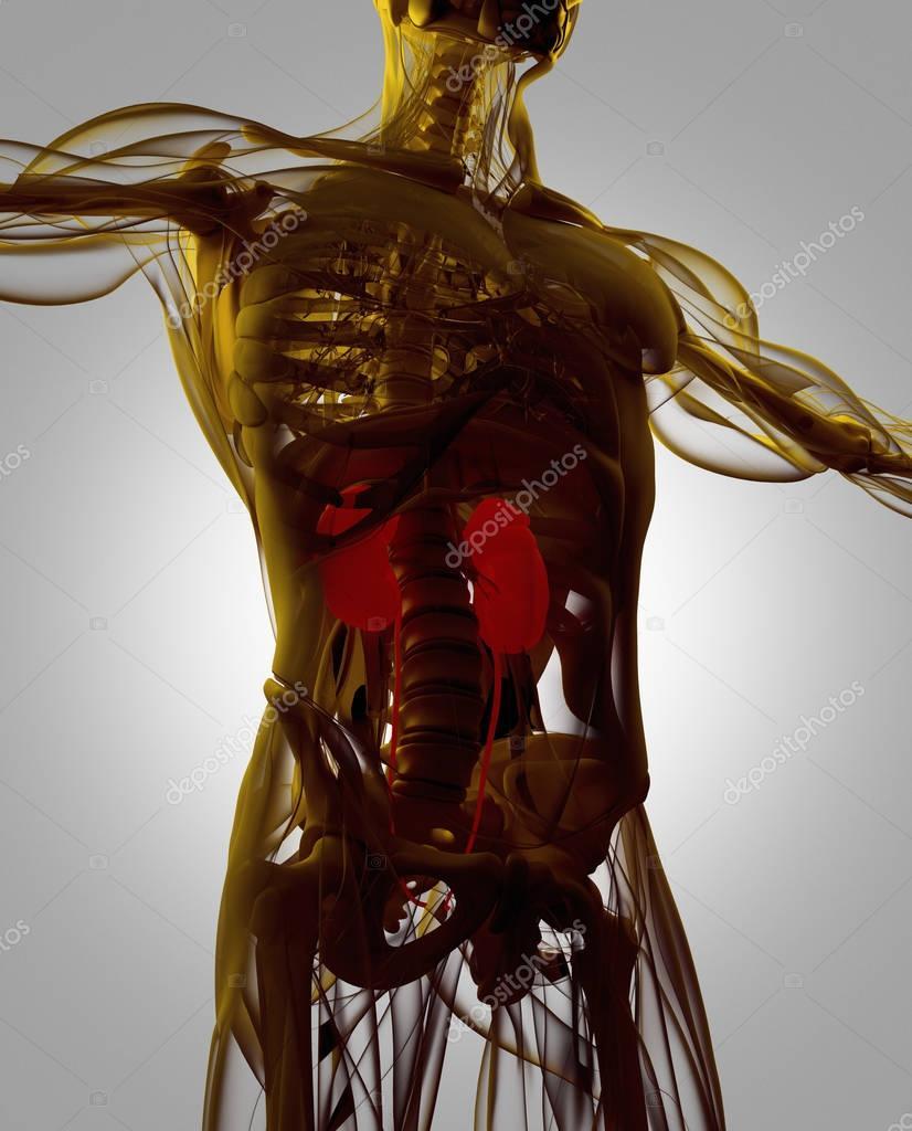 modelo de anatomía de los riñones humano — Fotos de Stock ...
