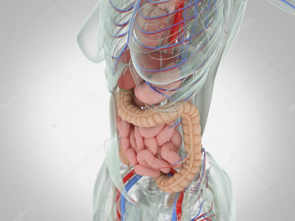 Anatomía de torso femenino — Foto de stock © AnatomyInsider #128997636