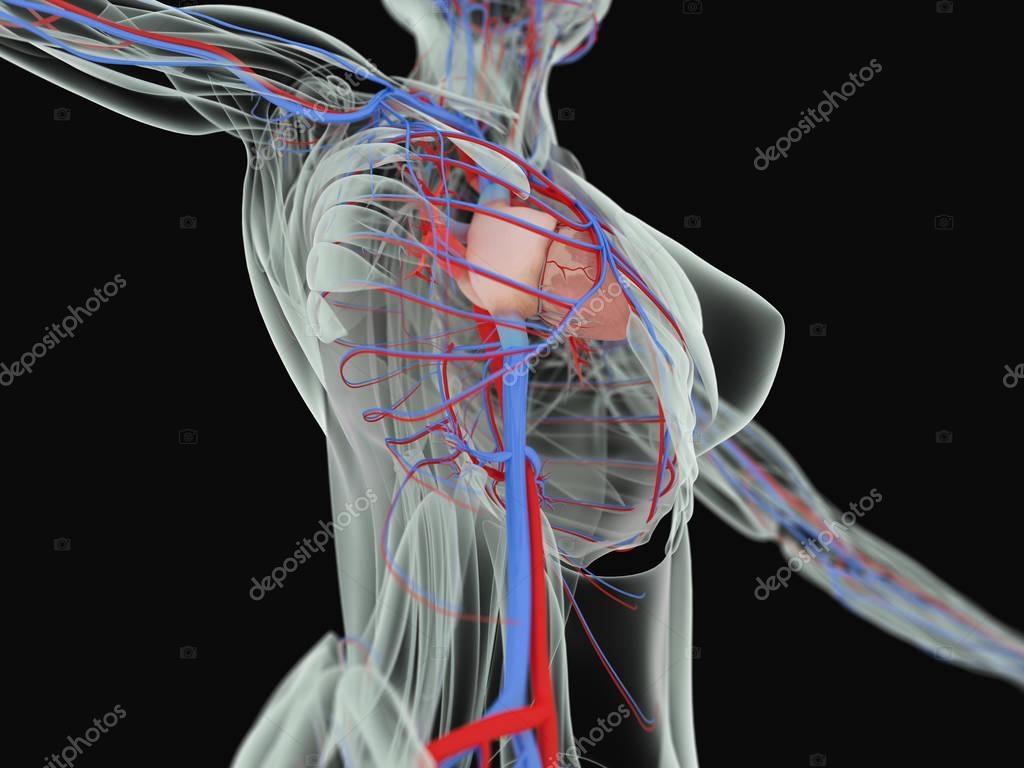 Anatomía del cuerpo de la mujer — Foto de stock © AnatomyInsider ...