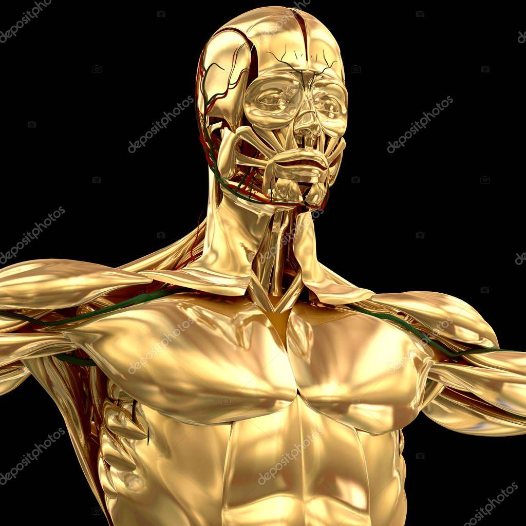 Modelo de anatomía humana de cromo — Fotos de Stock © AnatomyInsider ...