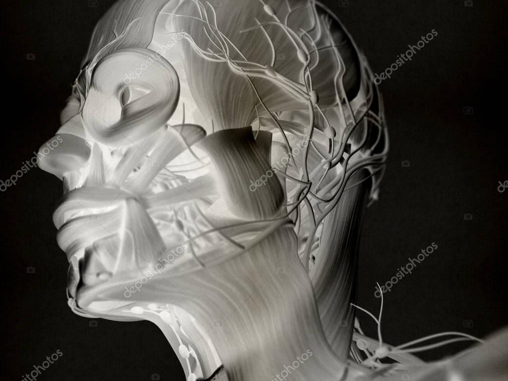 Modelo de anatomía humana cabeza — Foto de stock © AnatomyInsider ...