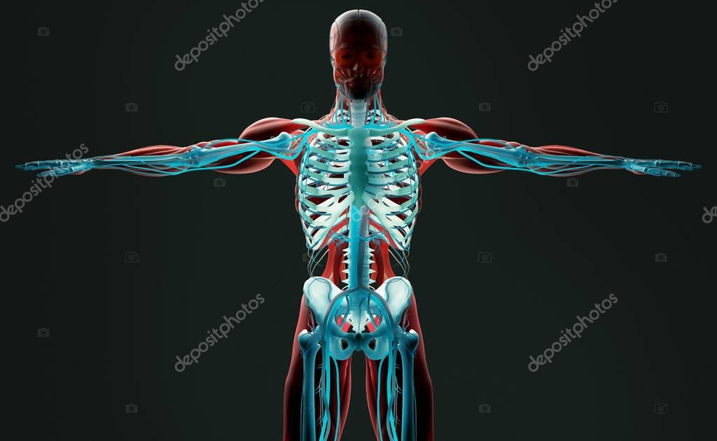 modelo de anatomía humana — Foto de stock © AnatomyInsider #128997978