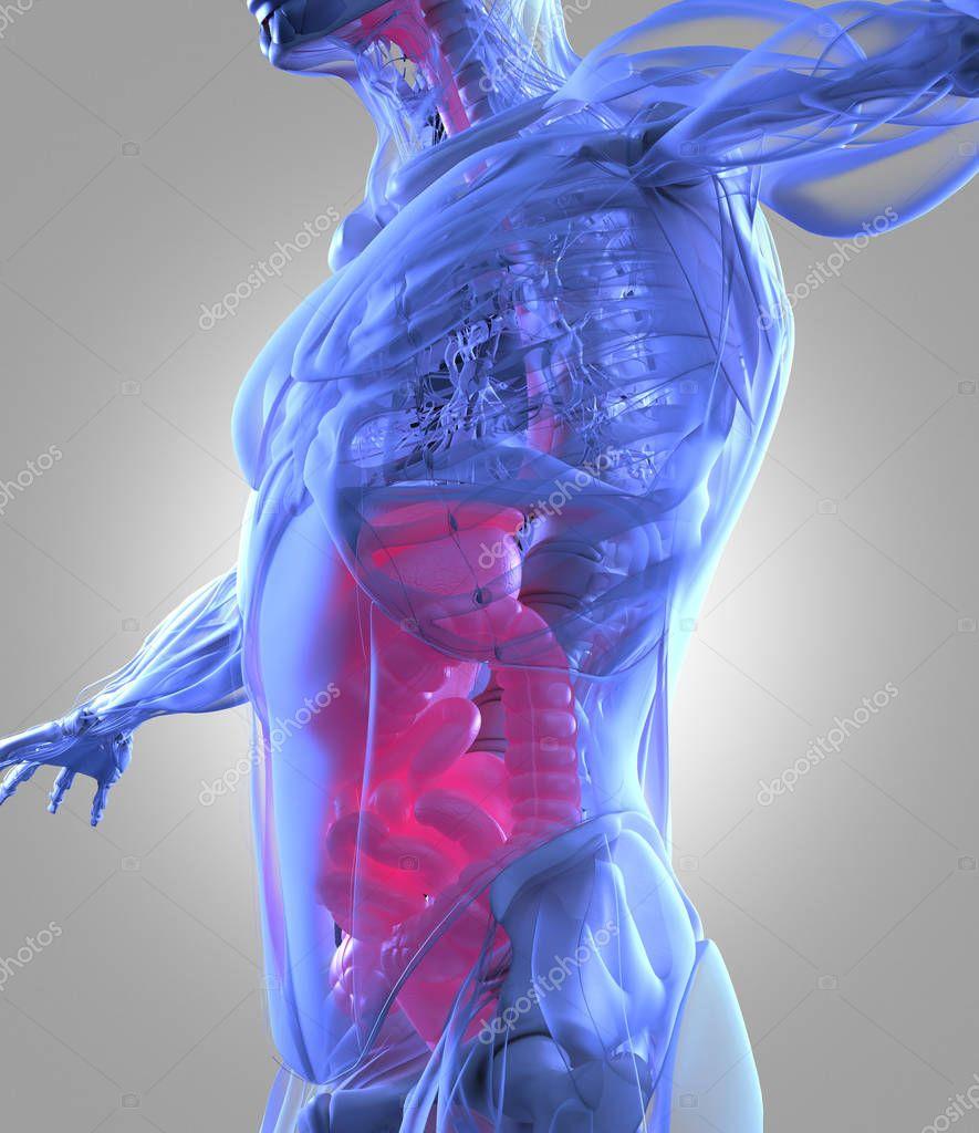 Verdauungstrakt Anatomie Modell — Stockfoto © AnatomyInsider #128998050