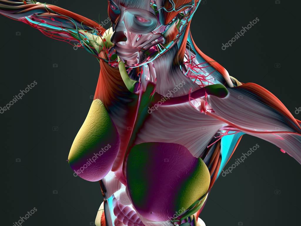 Anatomie des weiblichen Körpers — Stockfoto © AnatomyInsider #128998116