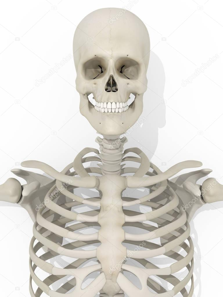 Human Skull Anatomy Model Stock Photo Anatomyinsider 128998286