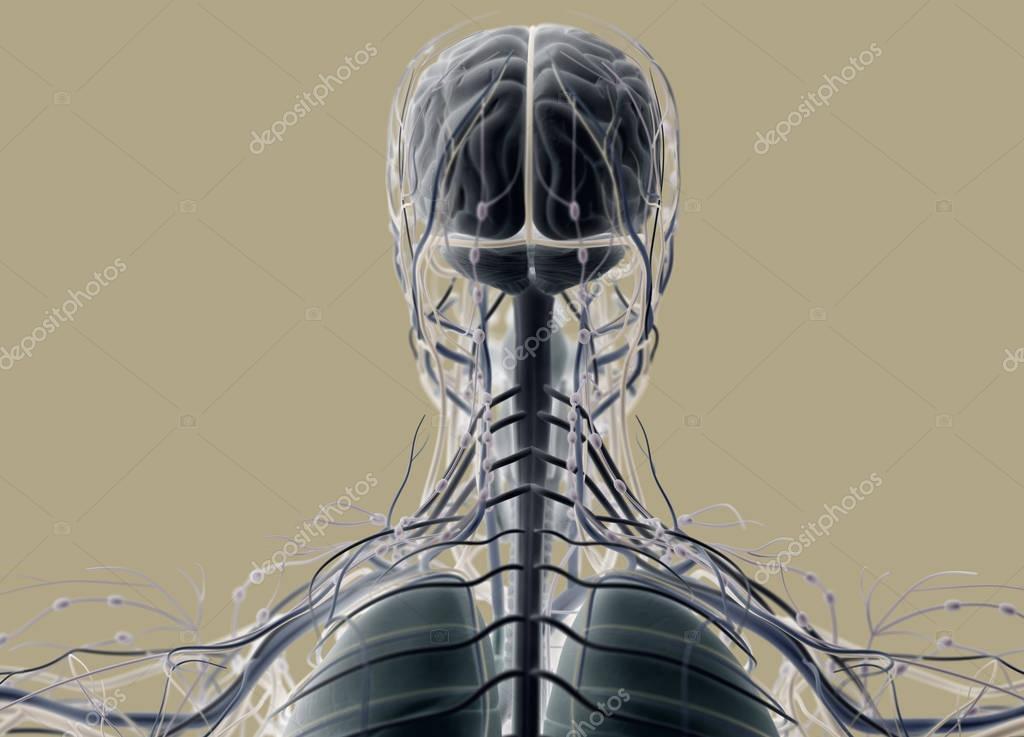 Human head anatomy back view — Stock Photo © AnatomyInsider #128998544