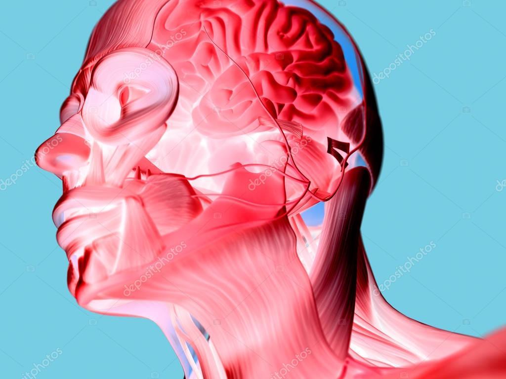 Human Head Anatomy Model Stock Photo Anatomyinsider 128998592