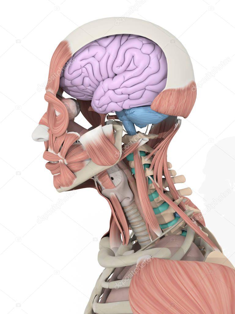 Male Head Anatomy Model Stock Photo Anatomyinsider 128998622
