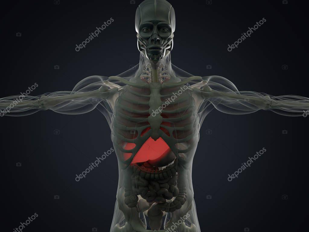 menschliche Anatomie Modell — Stockfoto © AnatomyInsider #128999106