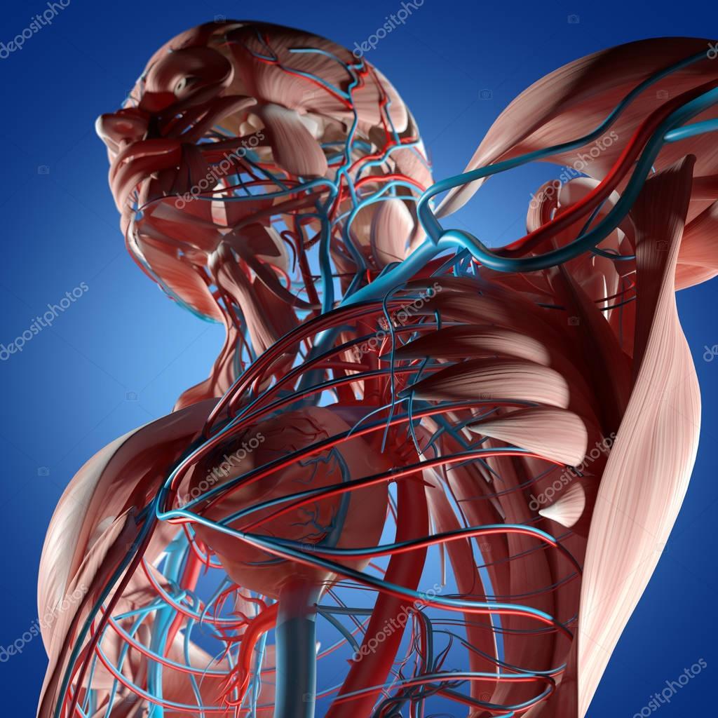 Human Torso Anatomy Stock Photo Anatomyinsider 128999140
