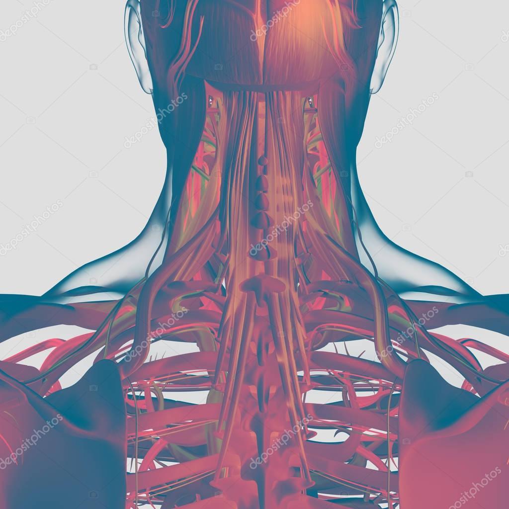 Modelo humano de la anatomía del cuello y la columna vertebral ...