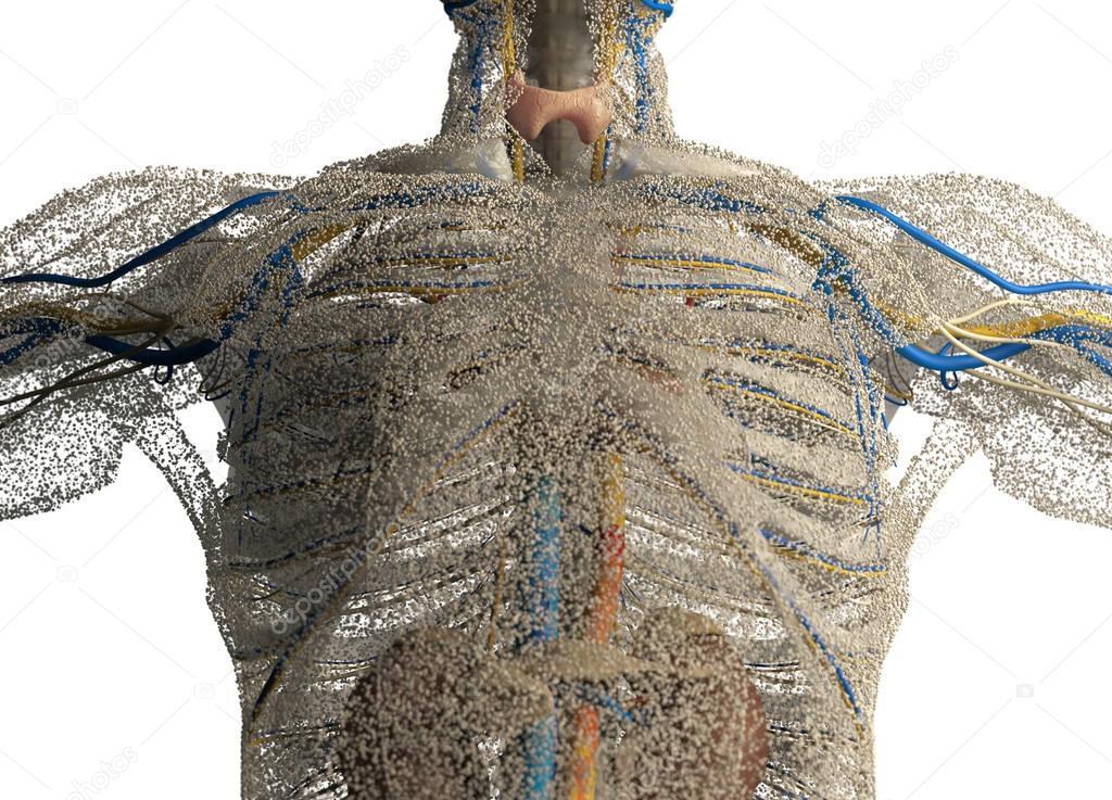 male chest anatomy model — Stock Photo © AnatomyInsider #128999544