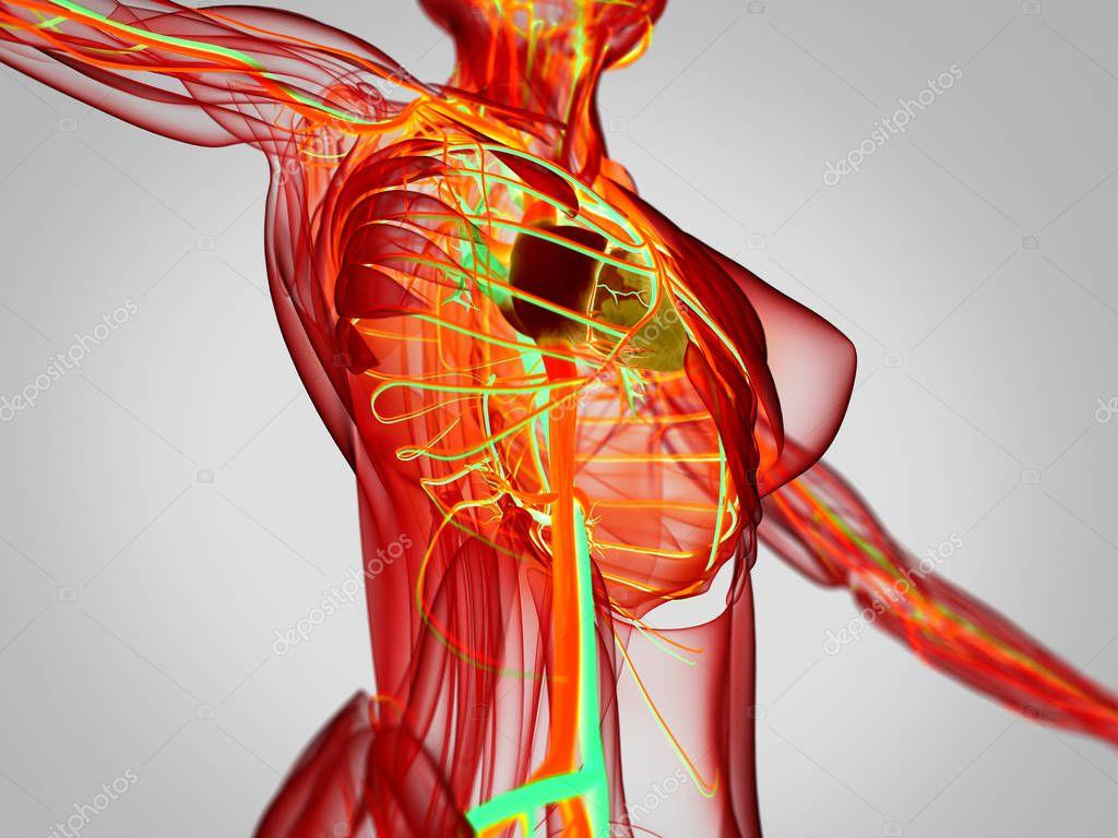 Anatomie des weiblichen Körpers — Stockfoto © AnatomyInsider #128999788