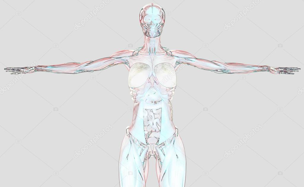 Anatomie des weiblichen Körpers — Stockfoto © AnatomyInsider #128999874