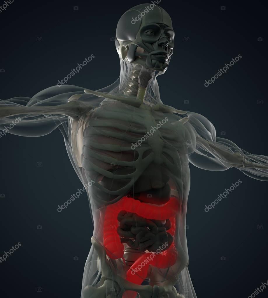 Modelo de anatomía de colon humano — Foto de stock © AnatomyInsider ...
