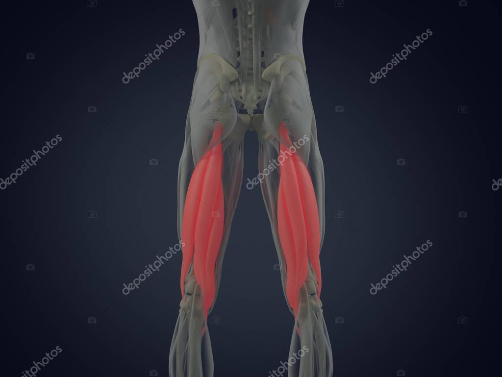 Hamstring Muscle Group Anatomy Model Stock Photo Anatomyinsider
