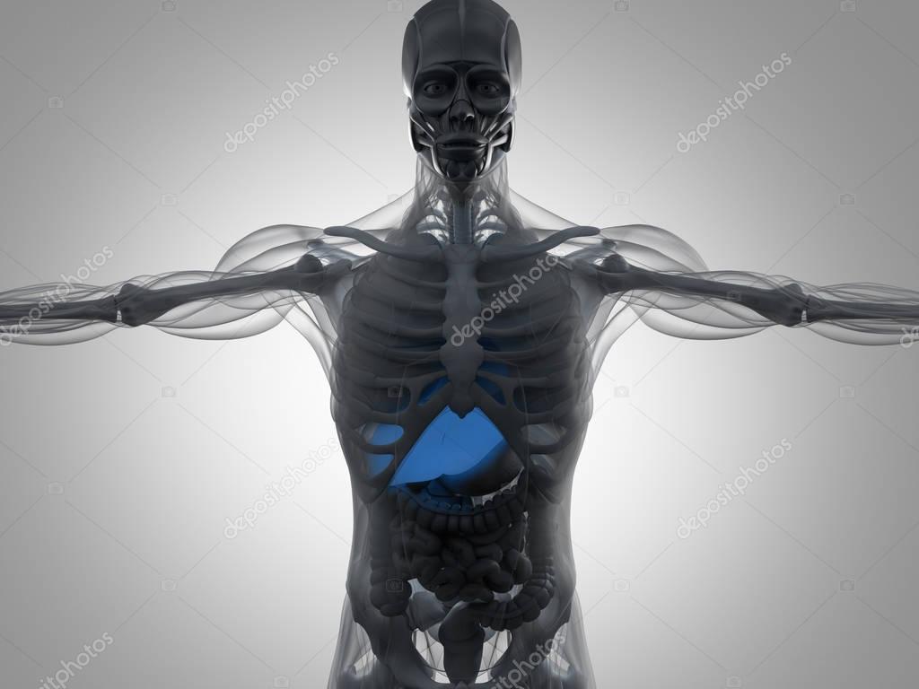 Berühmt Interaktives Menschliches Anatomie Modell Zeitgenössisch ...