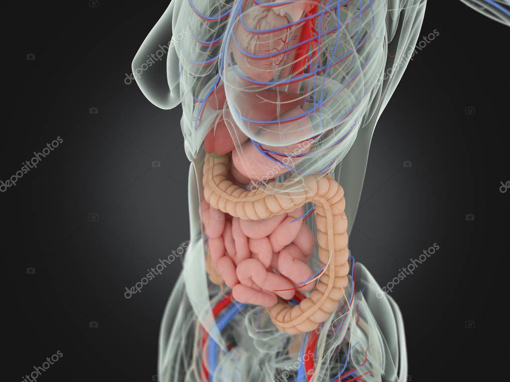 Anatomía de torso femenino — Fotos de Stock © AnatomyInsider #129001320