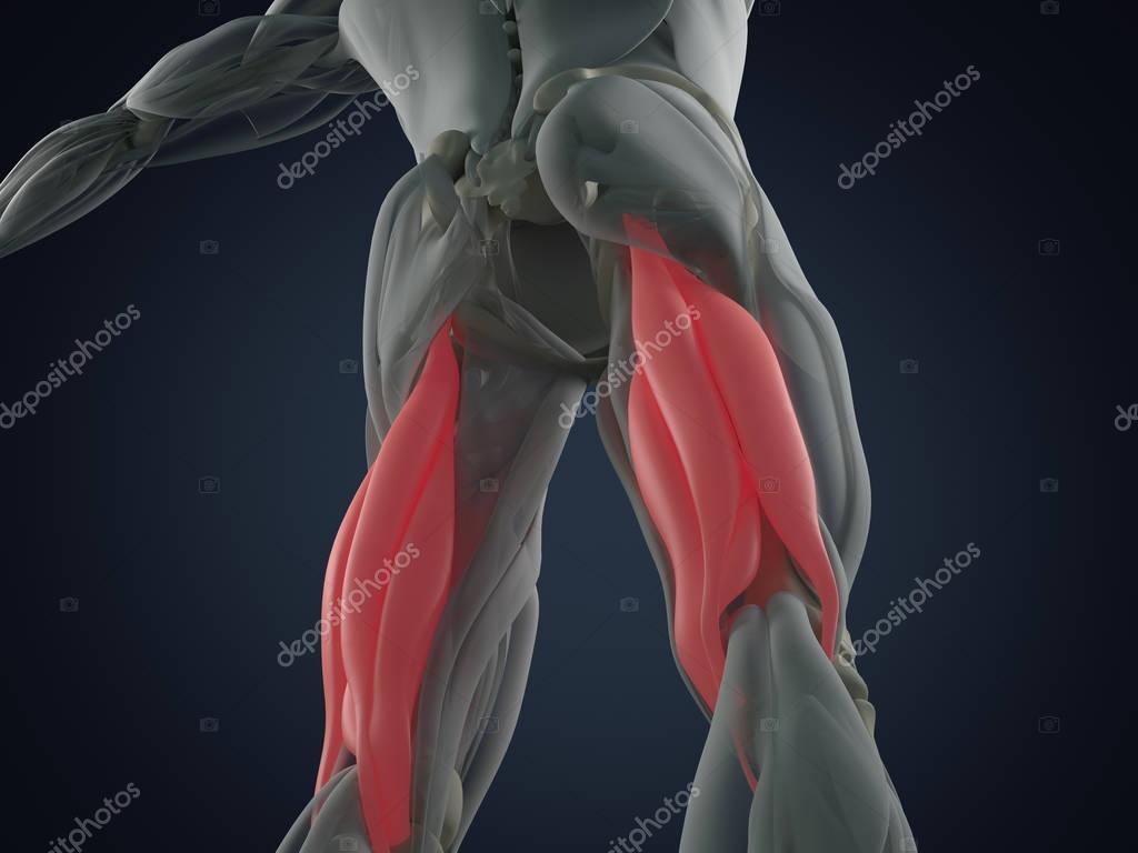 Modelo de anatomía muscular del tendón de la corva grupo — Fotos de ...