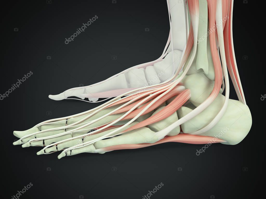 Human feet anatomy model — Stock Photo © AnatomyInsider #129001382